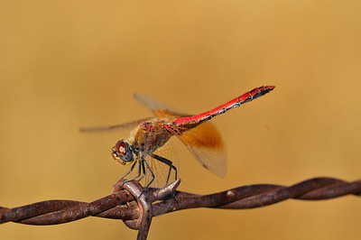 Band-winged (Western) Meadowhawk