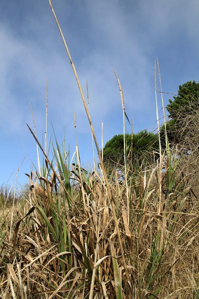 Giant Wildrye, Elymus condensatus