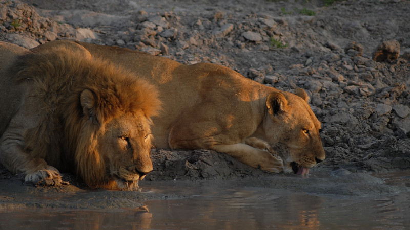 Drinking Lions, Panthera leo. Savute, Botswana.