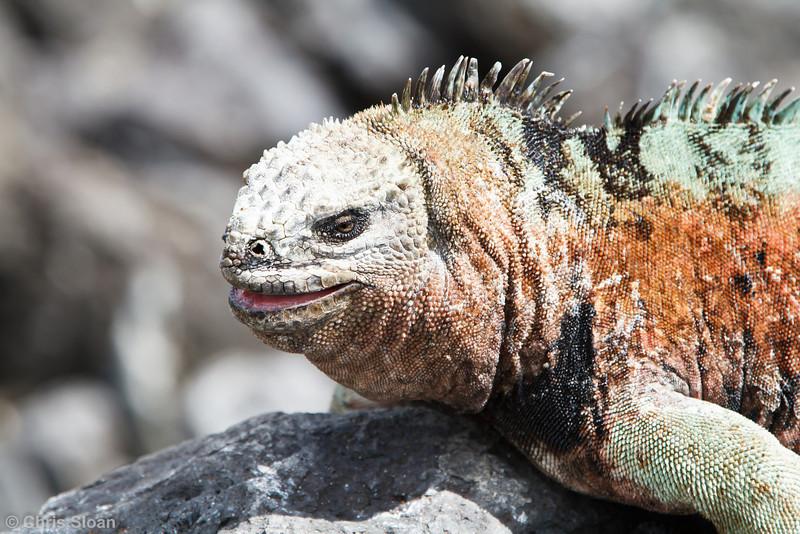 Marine Iguana at Floreana, Galapagos, Ecuador (11-22-2011) - 359.jpg