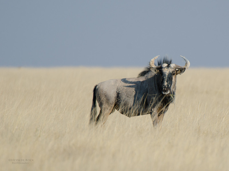 Blue Wildebeest, Etosha NP, Namibia, July 2011.jpg