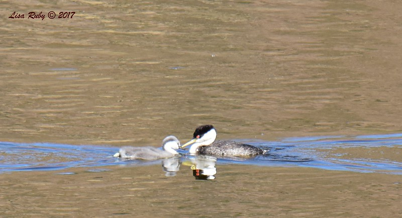 Western Grebes adult and juvenile - 6/14/2017 - Lake Hodges Bernardo Bay Trail