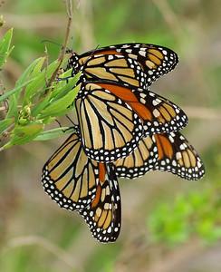 Butterflies Of St. Marks NWR