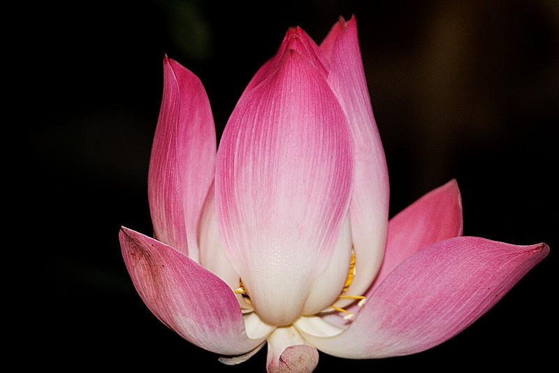 Lotus Open 2c.jpg