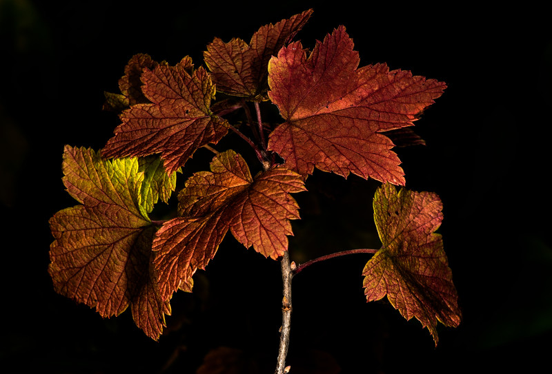 DSC_1585 PS- Fall Leaves LL BackYard wrpd BlGrndDrknd .jpg