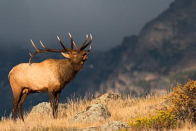 Deer-Elk