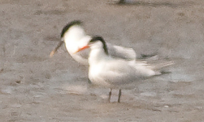 Sandwich Tern (left) 670' away.