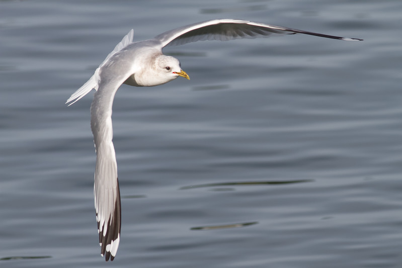 Mew Gull Adult - Note the wing pattern