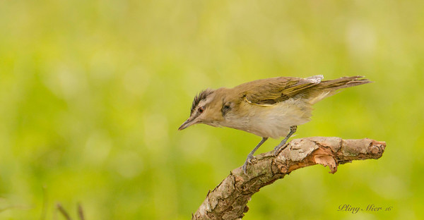 Red-eyed Vireo 3_DWL2944.jpg