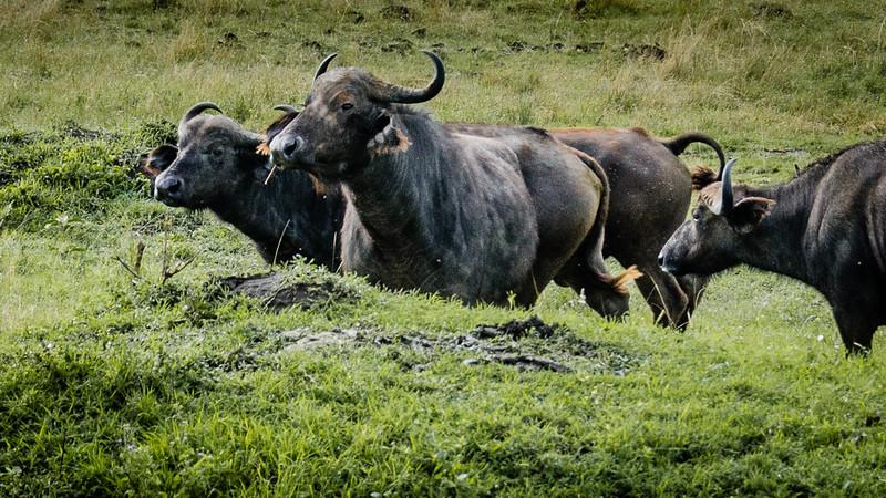Attack of the Buffalos-0113.jpg