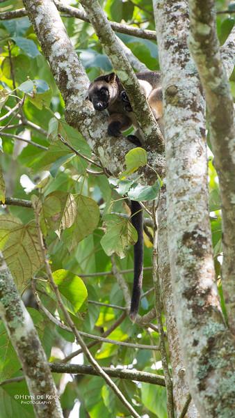 Lumholtz Tree Kangaroo, Malanda, QLD, Dec 2014-.jpg