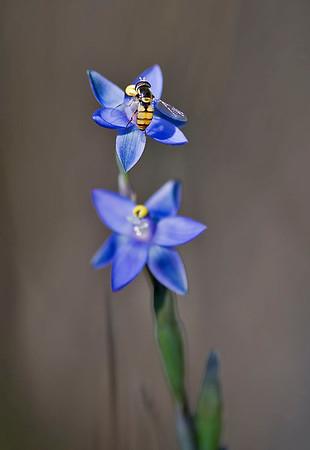 Thelymitra holmesii - Slender Blue Swamp Sun-orchid