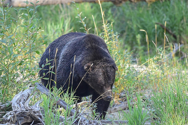 """9-13-15 Bella Coola - Dominant Male Grizzly """"Mac"""" Pt.1"""