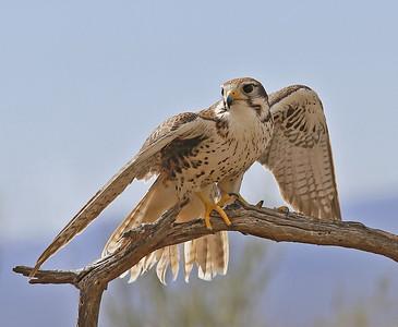 Eagles, Hawks & Other Raptors