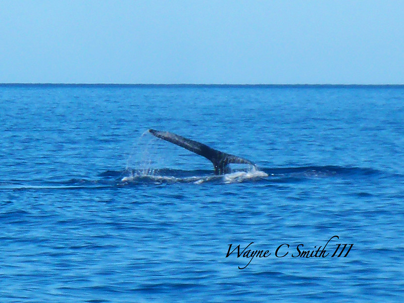 Humpback Whale sounding off Molikini Maui