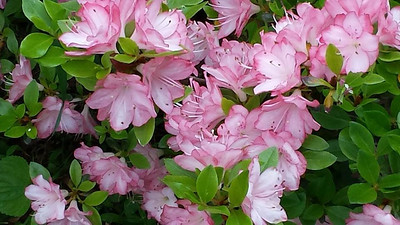 Flower Photos, by Judi Miller Musselman, South Tamaqua, West Penn (5-28-2014)