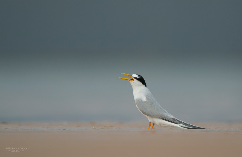 Little Tern, Lake Woolumbulla, NSW, Aus, Jan 2013-4.jpg
