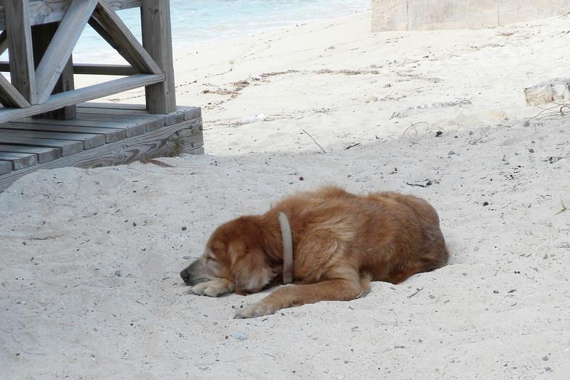 Golden Retriever enjoying the sun and sand at the local Sandbar.
