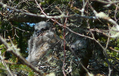 Great horned owl family 2