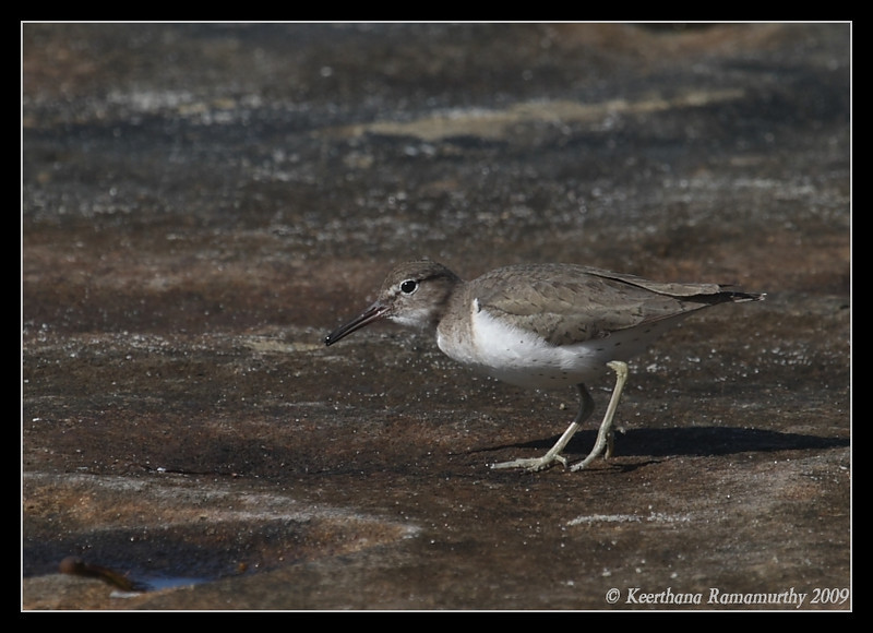 Spotted Sandpiper, La Jolla Cove, San Diego County, California, February 2009