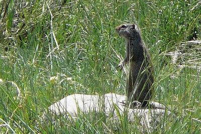 Squirrels, Marmots