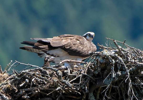 NW Osprey