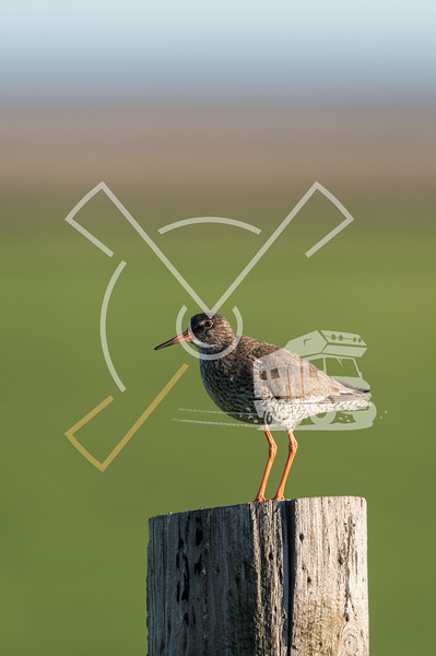 The common redshank or simply redshank (Tringa totanus) on a post