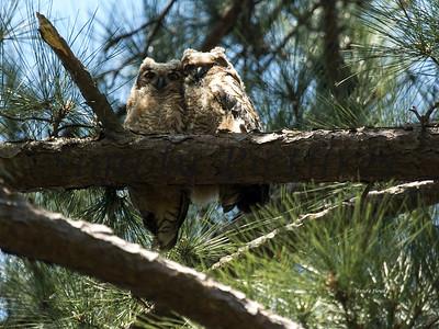 Owl  102
