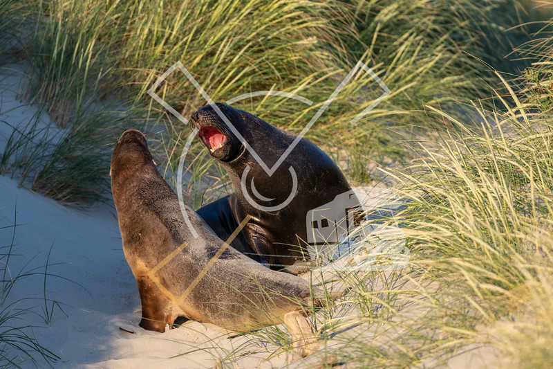 Courtship behaviour between a couple of New Zealand Sea Lions in the dunes of Sandfly beach