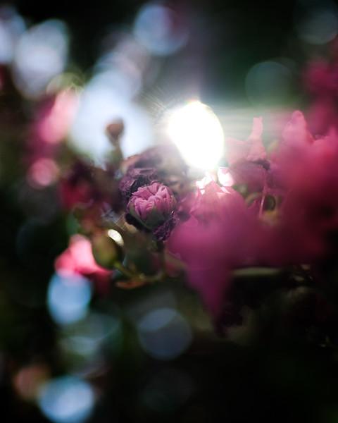 pink-bud.jpg