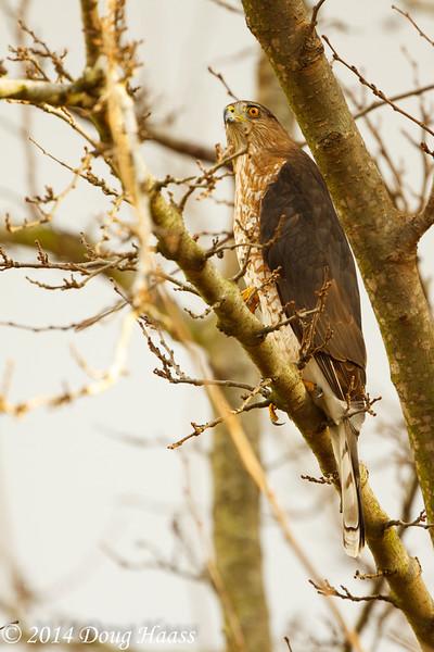 Cooper's Hawk Accipiter cooperii