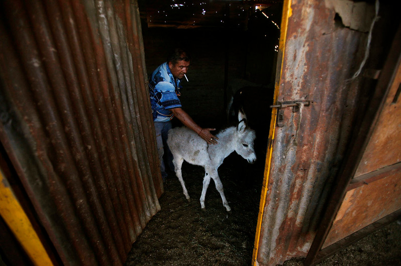 . In this Dec. 16, 2014 photo, donkey breeder Carlos Aravena moves one of his young donkeys from a barn in Santiago, Chile. Aravena said he\'s been raising burros on the outskirts of Santiago and selling their milk as long as he can remember. His father did as well. (AP Photo/Luis Hidalgo)