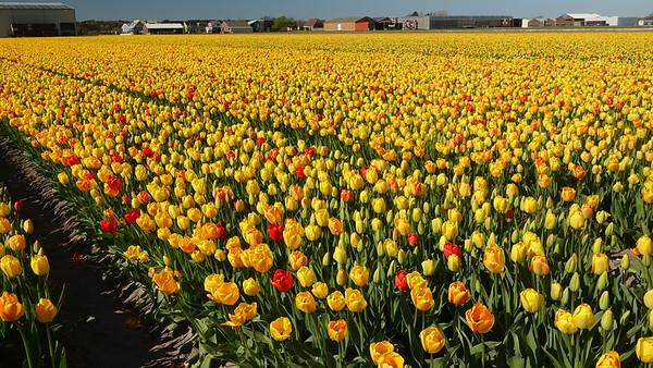 It's Tulip season!!  April 10, 2019