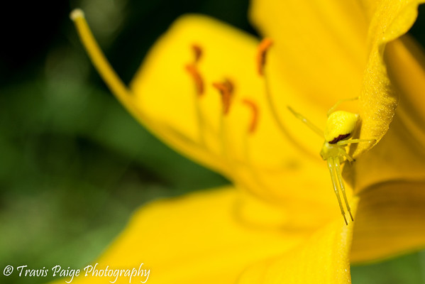 The Yellow Lily and The Yellow Spider