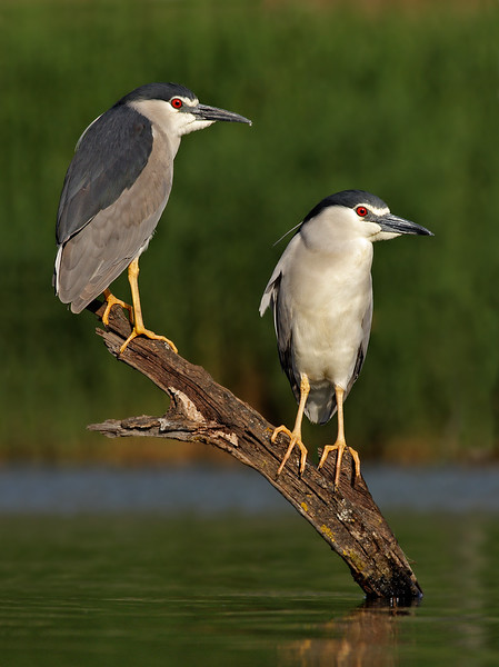 Night Heron - pair MASTER.jpg