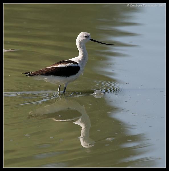 American Avocet, Lindo Lake, San Diego County, California, September 2009