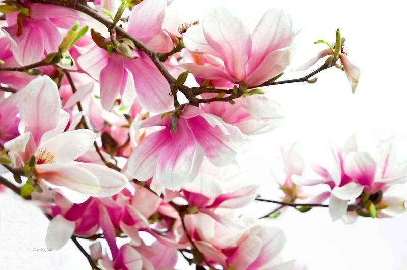 Mar 22_Pink Magnolia Branch_0278.jpg
