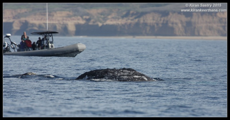 Gray Whale, Whale Watching trip, San Diego County, California, January 2015