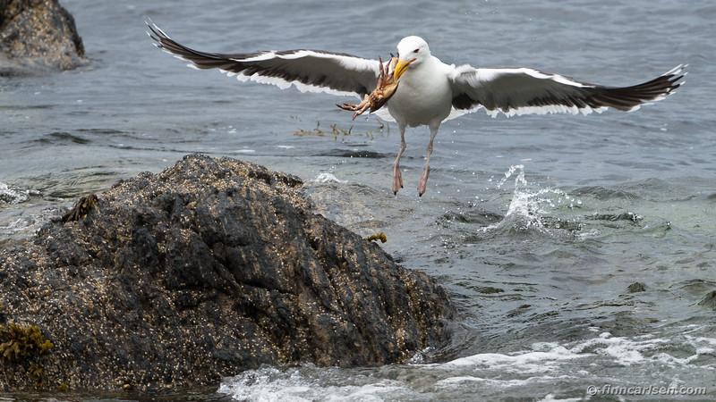 Svartbag (Larus marinus - Great black-backed gull)