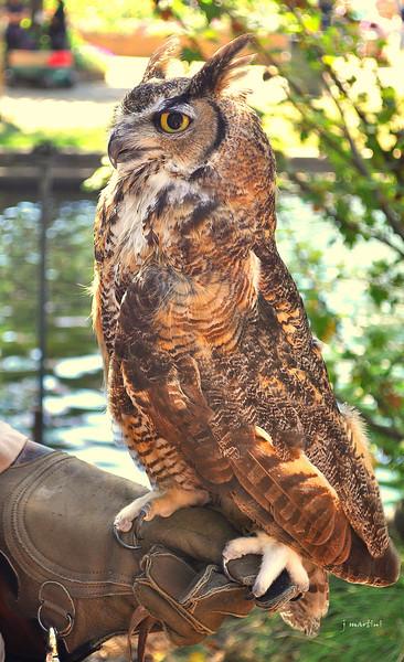 great horned owl 7-18-2012.jpg