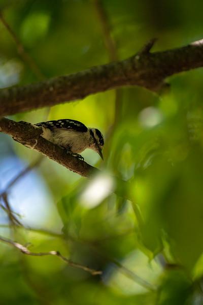 woodpecker hiding up in a tree