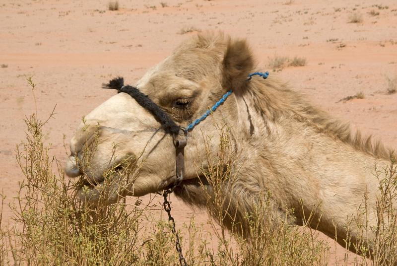 Closeup of camel in Wadi Rum, Jordan