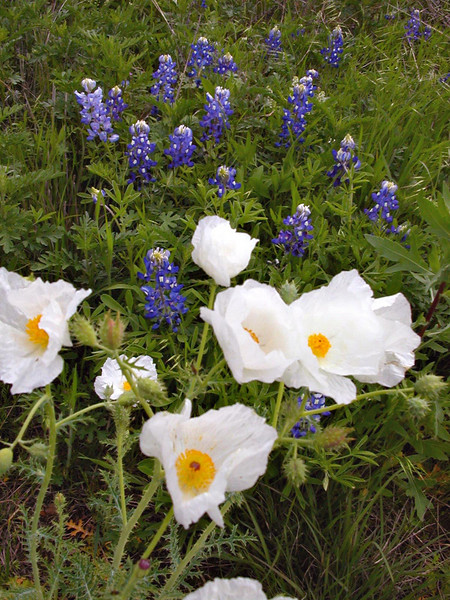 White poppies and bluebonnets.jpg