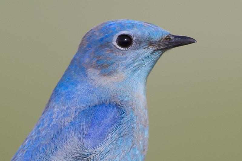 Mountain Bluebird - Male - Panoche Valley, CA, USA