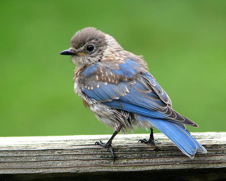 bluebird_fledgling_0014.jpg