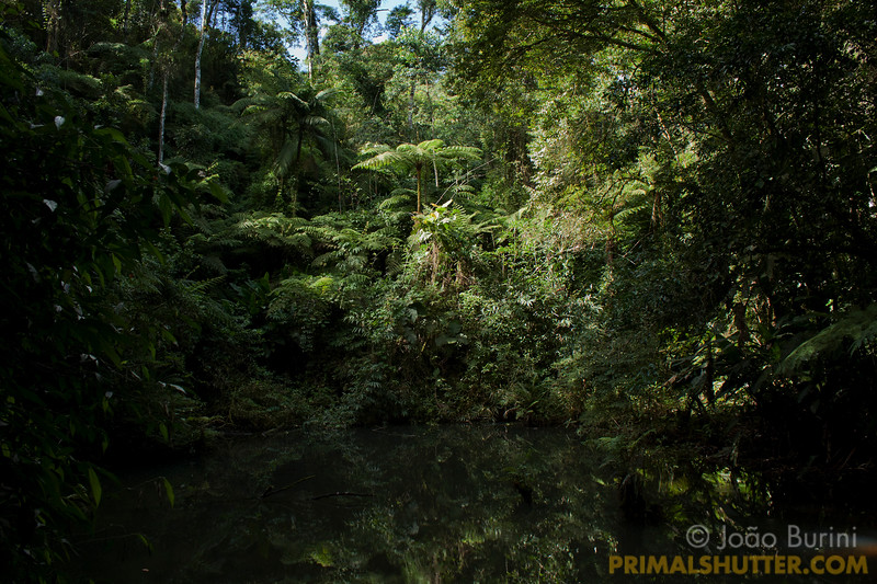 Small pond surrounded by rainforest in Intervales State Park, Brazil. South-east atlantic forest reserve, UNESCO World Heritage Site.