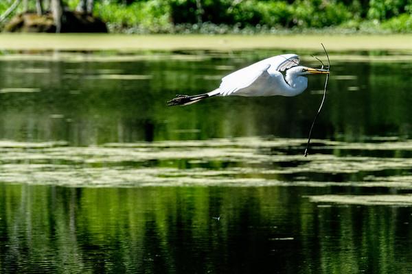 Great Egret in Flight - Magnolia Swamp