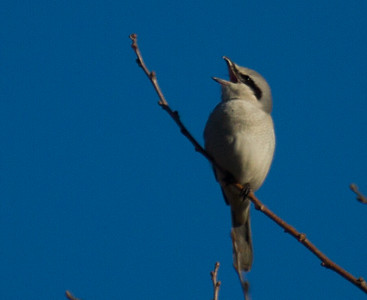 Northern Shrike, Fairfax Virginia