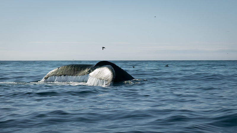 Whales fishing in the Atlantic Ocean off of Newfoundland, Canada