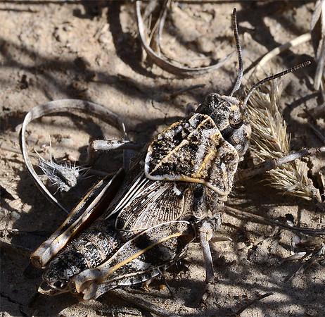 Xanthippus corallipes (Red-shanked Grasshopper)
